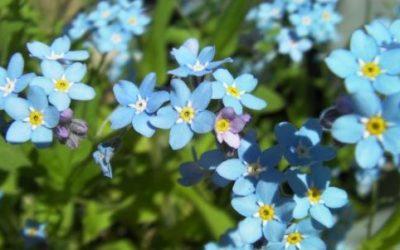 Non ti scordar di me: coltivazione e cura del Myosotis