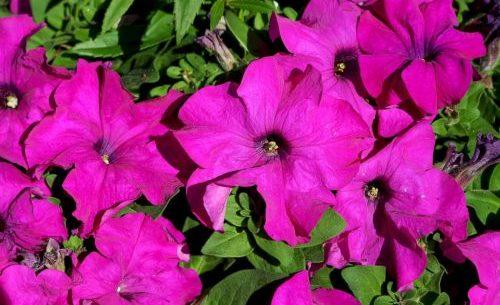 Photo of Petunia: come coltivare e curare questo fiore?