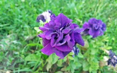Petunia: come coltivare e curare questo fiore?