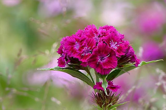 garofano dianthus barbatus