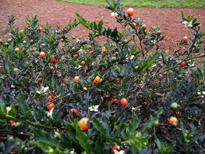 Solanumcapsicastrum