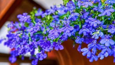 Photo of Lobelia: un genere di piante molto amate per il loro potenziale decorativo