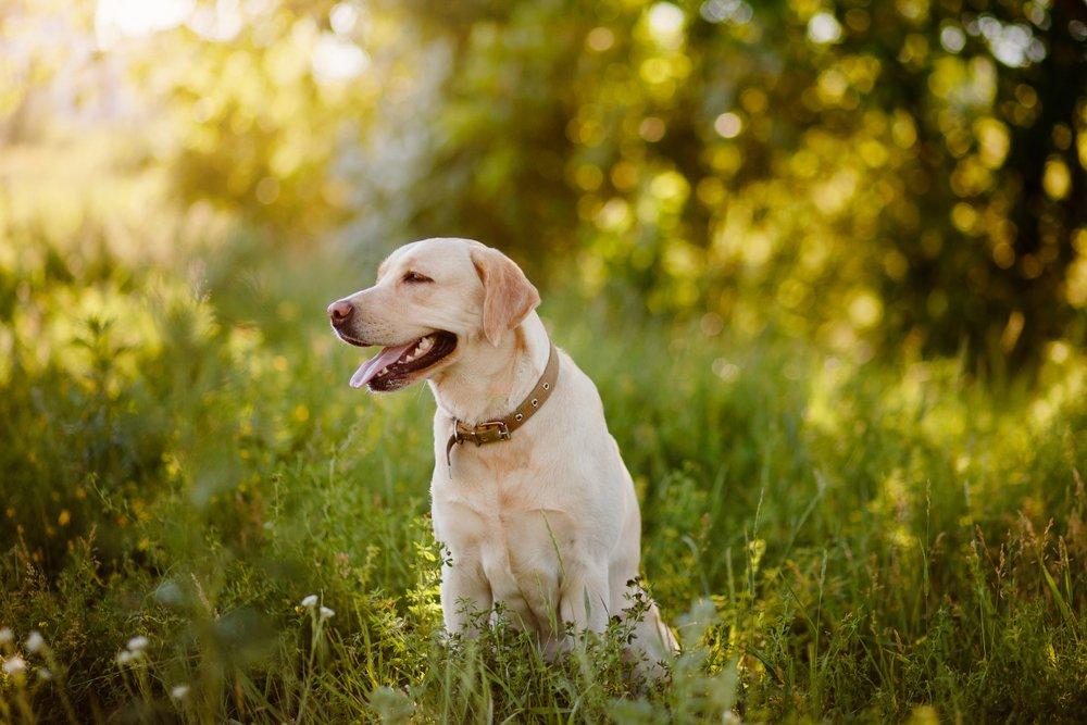 Photo of Staffordshire Bull Terrier: aspetto, cura e carattere