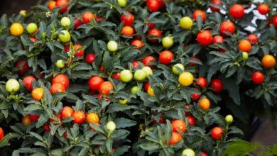 Photo of Solanum: come coltivare e curare questo tipo di piante