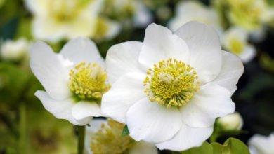 """Photo of Elleboro, il fiore noto anche come """"Rosa di Natale"""""""