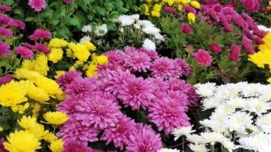 Photo of Alla scoperta del Crisantemo: le varietà della pianta e la guida alla coltivazione