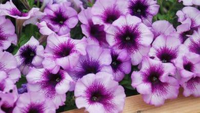 Photo of Petunia: come coltivarla e curare i suoi splendidi fiori?