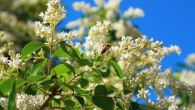 Photo of Tutto sul ligustro, una pianta perfetta per le nostre siepi