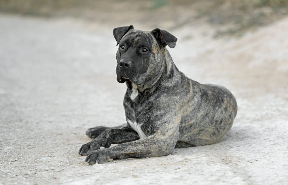 Photo of Tutto sul dogo canario: temperamento e caratteristiche peculiari di questa razza di cani