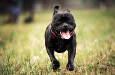 Staffordshire Bull Terrier: aspetto, cura e carattere