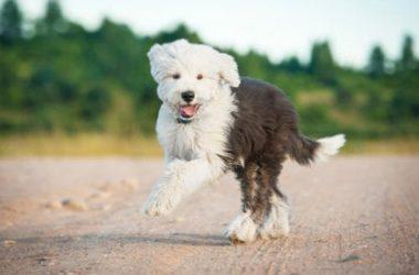 Bobtail, un cane da pastore che ama i bambini