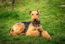 """Photo of Airedale terrier: caratteristiche e specificità del """"Re dei terrier"""""""