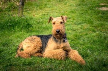 """Airedale terrier: caratteristiche e specificità del """"Re dei terrier"""""""