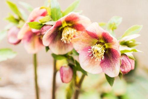 elleboro fiori