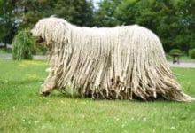 Photo of Komondor: un gigante buono dall'aspetto inconfondibile