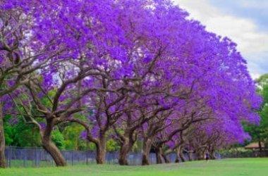La magia della Jacaranda, uno degli alberi più decorativi che si possano immaginare