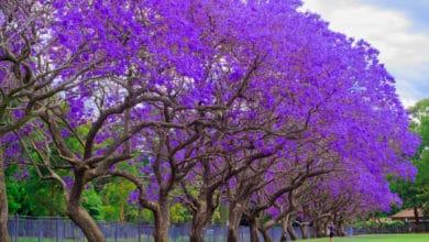 Photo of La magia della Jacaranda, uno degli alberi più decorativi che si possano immaginare