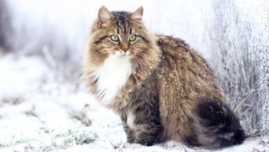 Photo of Quello che c'è da sapere sul gatto siberiano, il gatto venuto dal freddo