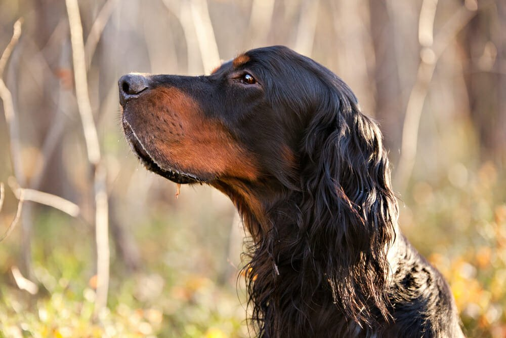 Photo of Setter Gordon: un cane agile, docile e obbediente come pochi