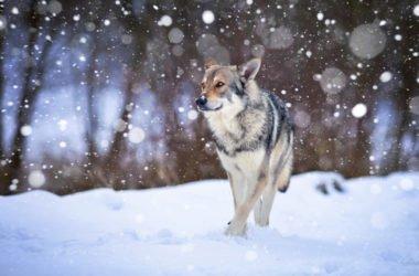 Scopriamo il cane lupo di Saarloos, una razza da pastore ideale anche come cane di compagnia
