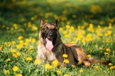 Tutto sul pastore belga, un cane da pastore attivo e affettuoso