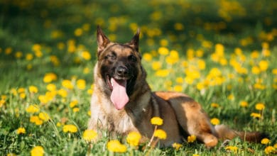 Photo of Tutto sul pastore belga, un cane da pastore attivo e affettuoso