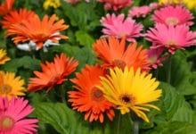 Photo of La gerbera, una pianta sempre più apprezzata per i suoi fiori colorati ed eleganti