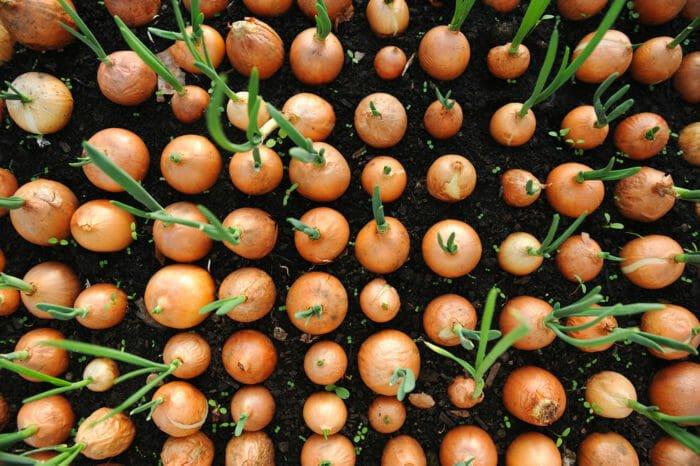 Come coltivare le cipolle in vaso e in orto: consigli utili e pratici