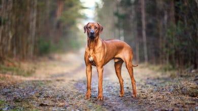 Photo of Il Rhodesian Ridgeback, un cane forte, orgoglioso e fiero