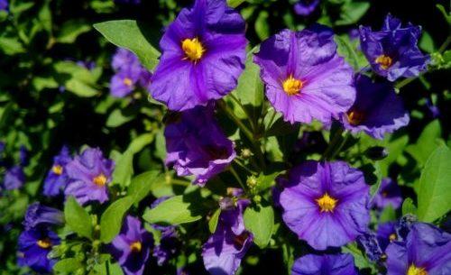Solanum: come coltivare e curare questo tipo di piante