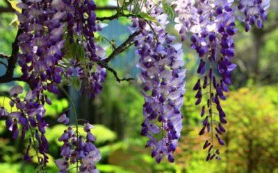 Come coltivare il glicine, sia sul balcone che in giardino ed in vaso. Varietà, coltivazione e cura di questa pianta