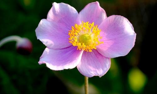 Anemone: tutto su questa pianta ideale per decorare giardini e balconi