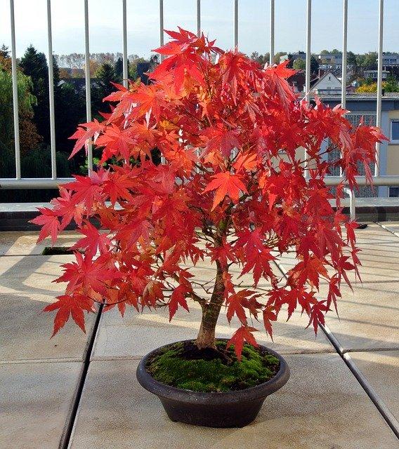 Acero rosso caratteristiche coltivazione e cure tuttogreen for Acero giapponese in vaso