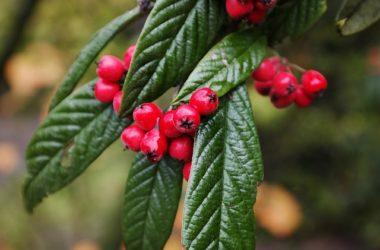 Cotoneaster: cure, coltivazione e altre informazioni