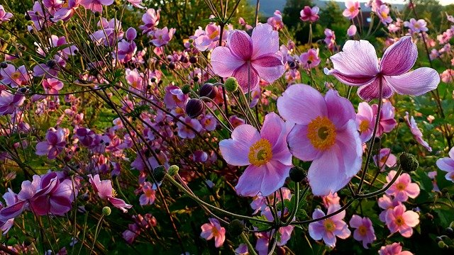 Photo of Anemone: tutto su questa pianta ideale per decorare giardini e balconi