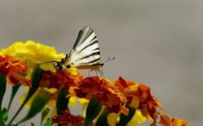 Tagete, il significato, la cura e la semina del fiore da orto