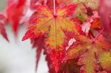 Guida all'acero rosso, una delle piante più coreografiche e fotografate