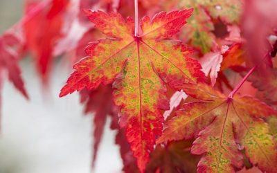 Acero rosso: caratteristiche, coltivazione e cure