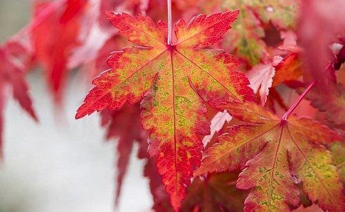 Photo of Guida all'acero rosso, una delle piante più coreografiche e fotografate