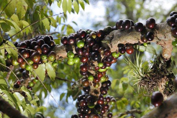 Photo of Jaboticaba, l'albero che ha i frutti che crescono sul suo tronco