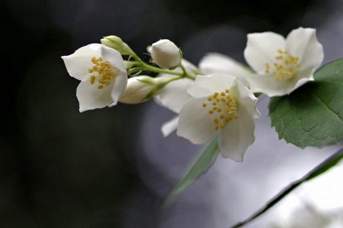 Fiori bianchi classificazione e variet per il giardino for Fiori piccoli bianchi