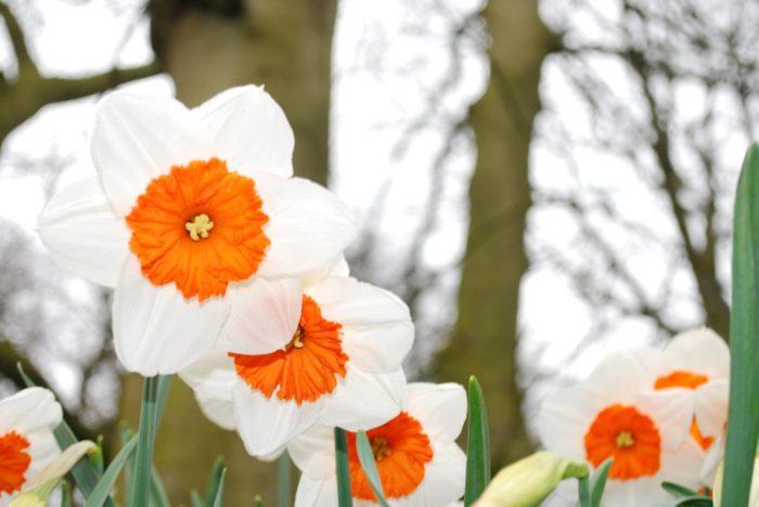 narciso fiore