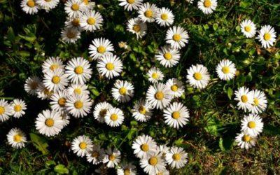 Margherita, fiore dei prati: ecco tanti consigli pratici