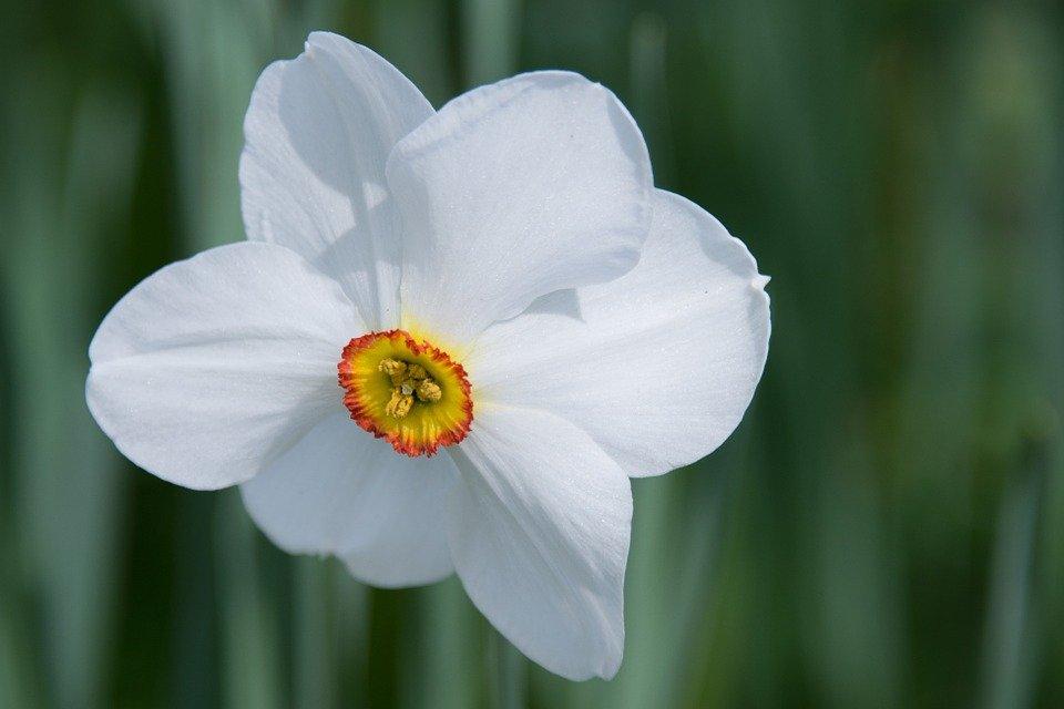 Photo of Narciso: fiore e simbolo del mito della bellezza