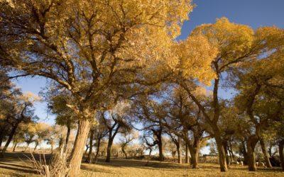 Pioppo, varietà e caratteristiche di un albero a crescita rapida