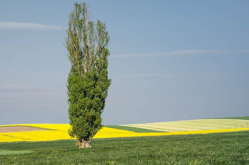 Photo of Pioppo, varietà e caratteristiche di un albero a crescita rapida