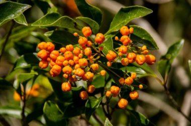 Pitosforo: cura e caratteristiche di una pianta resistente