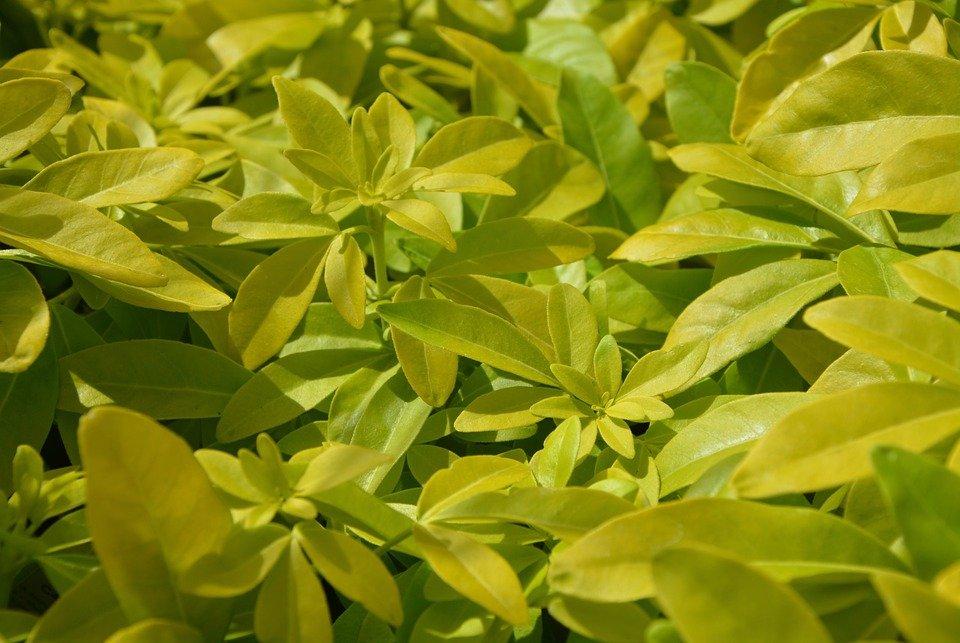 Photo of Pitosforo: cura e caratteristiche di una pianta resistente