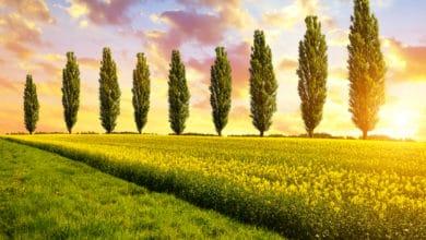 Photo of Pioppo: tutto su uno degli alberi più caratteristici che si conoscano