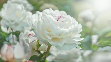 Photo of Fiori bianchi: non solo da matrimonio, ma anche per il terrazzo e il giardino
